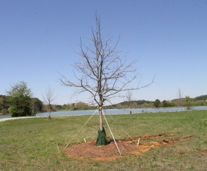 New swamp white oak trees were recently planted along part of the walking trail around Paris Lake on the Floyd campus. Photo by Antonio Garcia.
